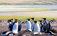 King penguins at Bluff Cove