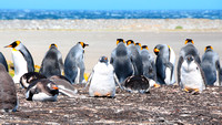 King penguins with backs to Gentoo babies