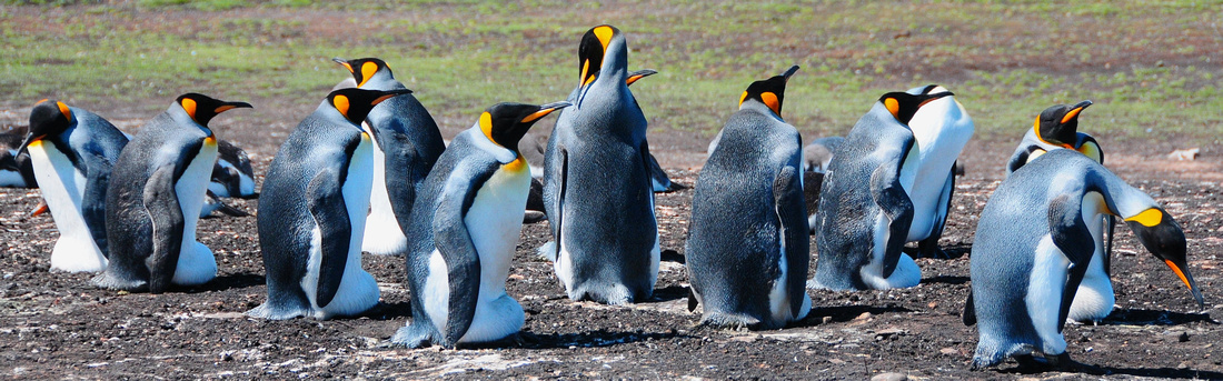 King penguins keeping their eggs warm