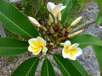 Local flowers that grow abundantly on Lifou island
