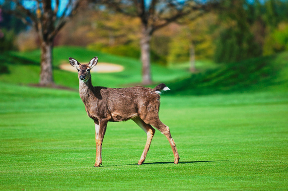 Deer at Cordova Bay Golf Course